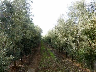 Orgânico olival - Portugal - Vila Real
