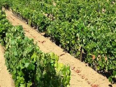 Ferme 50 ha, Vignoble 17 ha, Rivière. Portugal, Haut-Douro, Guarda, Barca d'Alva.
