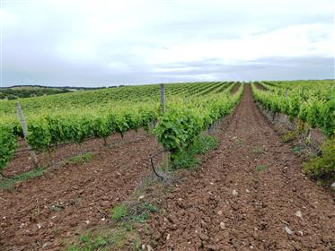 161 000 sqm Vineyard in Alentejo, Estremoz, Portugal.